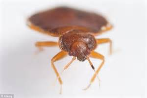 do bed bugs feed every night how scientists feed hundreds of thousands bed bugs who