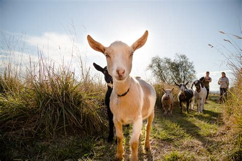 new year goat picture goat one s hilarious solution for handling