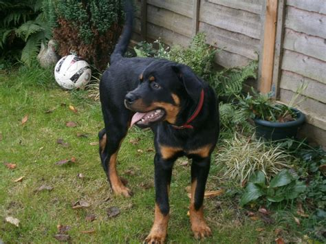 7 month rottweiler for sale 7 month rottweiler puppy bungay suffolk wisbech cambridgeshire pets4homes