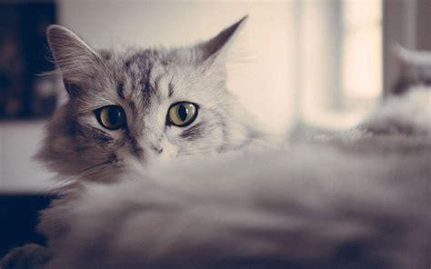 kitten wallpaper for windows 7 cute cat wallpaper 8 animal wallpapers free download