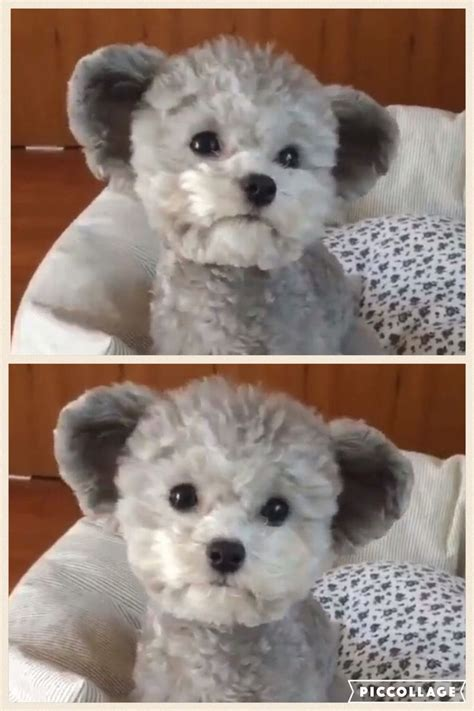 round face dog cut 25 best ideas about teddy bear puppies on pinterest
