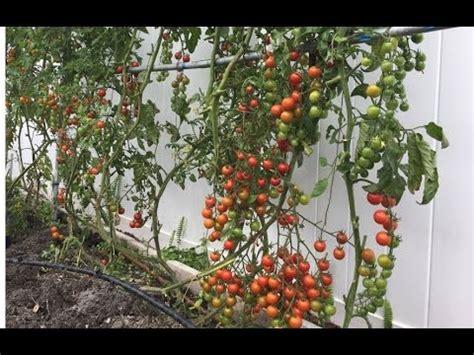 grow tomato  home   bars trellis youtube
