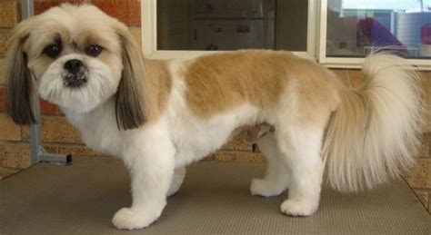 how to cut my shih tzu hair what haircut suits your shih tzu shih tzu den