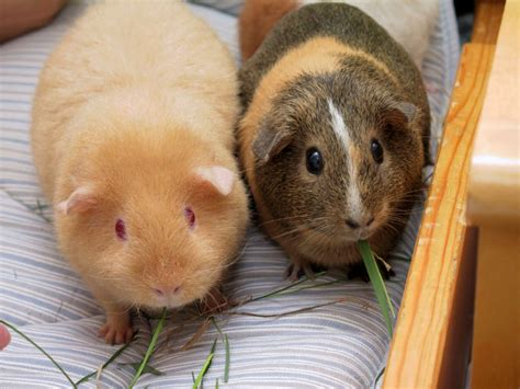 guinea pig wikiwand