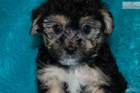 puppies for sale in fort wayne indiana yorkie poo puppies for sale in indiana breeds picture