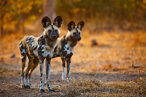 dogs in africa dogs in northern tuli reserve botswana hd wallpaper and