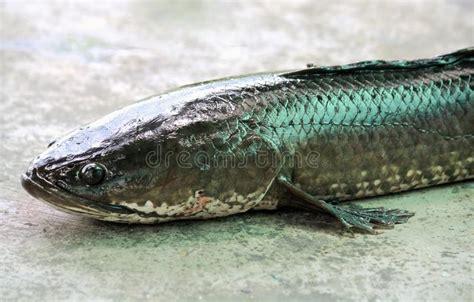 pesce testa di serpente pesce serpente sul fondo cemento fotografia stock