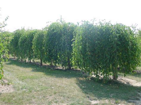 weeping mulberry beautiful trees shrubs pinterest