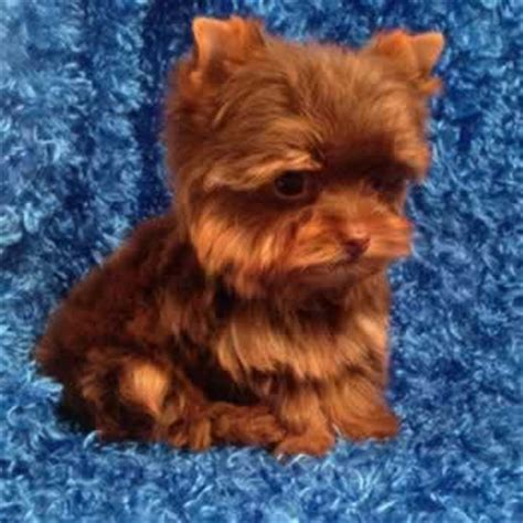 chocolate yorkie breeders yorkie puppies sale teacup yorkies parti chocolate golden terriers