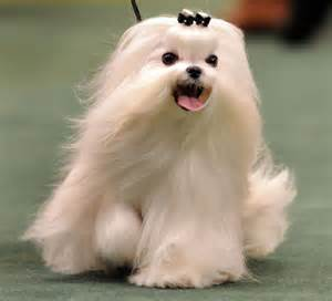 why has my maltese terrier got thin hair just me thinking about my next dog