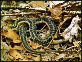 Garden Snake Connecticut Eastern Garter Snake Thamnophis Sirtalis Pleasant
