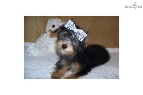 yorkie personality terrier yorkie puppy for sale near st louis missouri f2bc17f9 e2c1