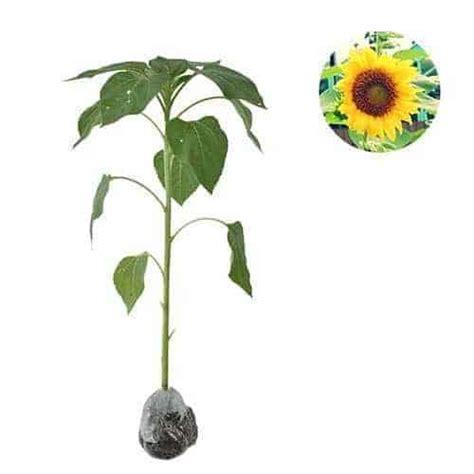 jual tanaman bunga matahari lokal bibit