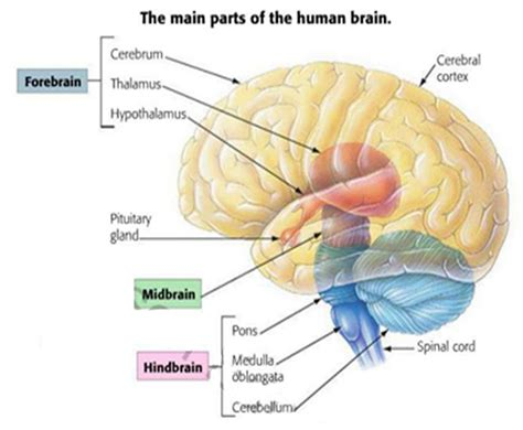 three main sections of the brain snippd the central nervous system