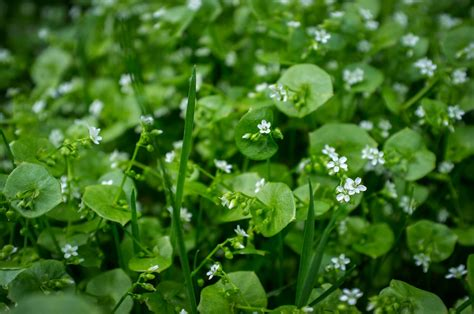 how to open a miner s l what is miner s lettuce learn about the care of