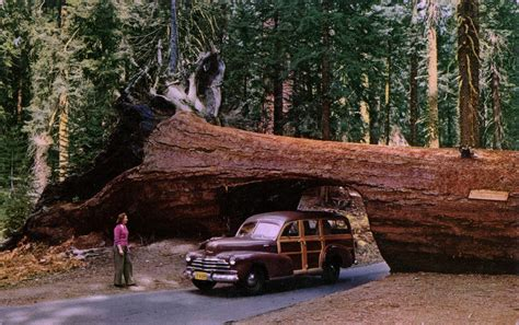 Chandelier Tree In The Drive Thru Tree Park Tunnel Tree Sequoia National Park California Swellmap