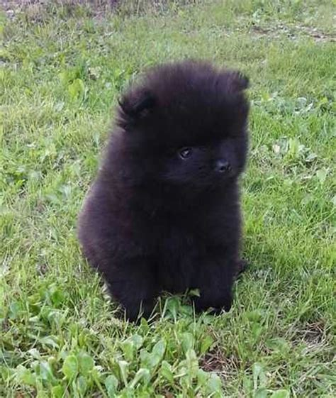black pomeranian puppy pictures lovely black pomeranian puppy for sale adoption from melbourne metro