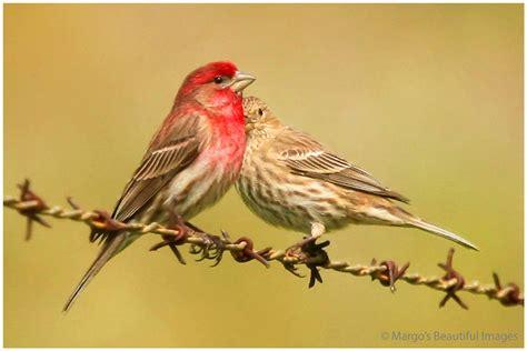finch bird house american goldfinch bird related keywords american