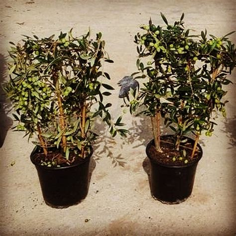 tree delivery uk tree for sale uk 28 images espalier olive trees for