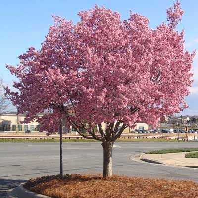 cherry blossom tree zone 5 five small to medium trees that can fit in small spaces