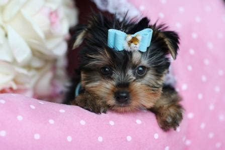 baby yorkies for free teacup puppies for sale and boutique and teacup yorkies autos post