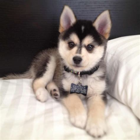 huskies pomeranians the pomeranian husky information pictures breeders
