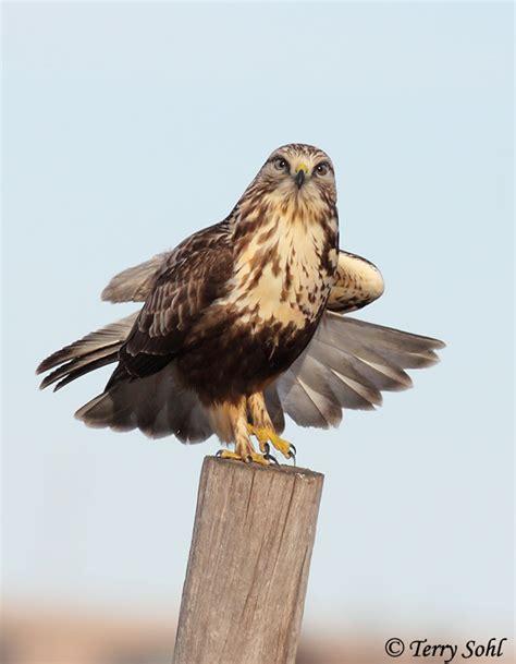 rough legged hawk rough legged hawk buteo lagopus