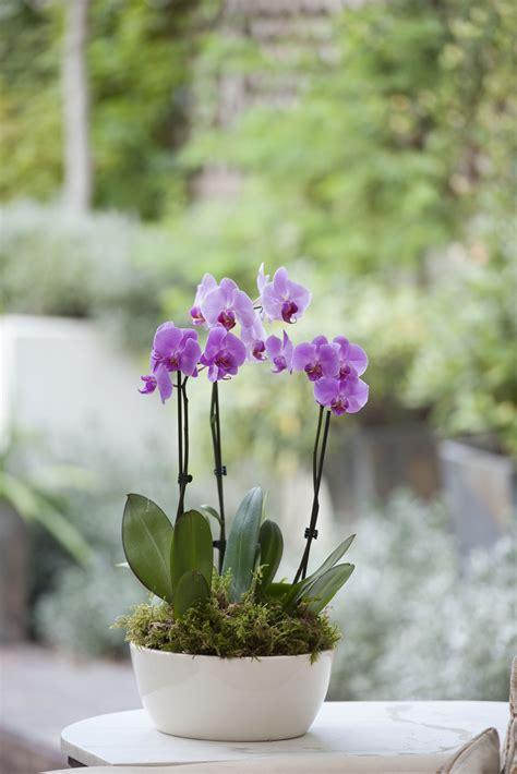 phalaenopsis orchid  bloom