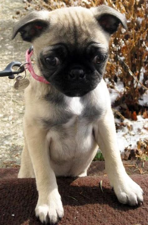 mix with pug 17 best ideas about pug chihuahua mix on pug mix chug and chiwawa breeds