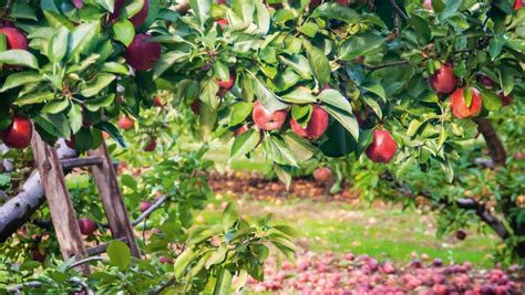 cherry tree investments planning and planting the backyard orchard stuff co nz