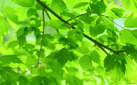 wallpaper of green leaves green leaves and branches fresh nature green plants