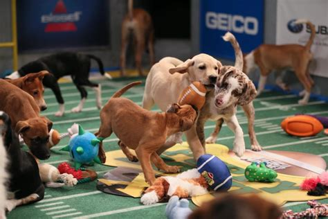 animal planet puppy bowl mvp determining the most and least likely mvp candidates for the 2015 puppy bowl for the