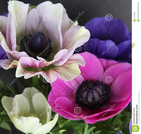 what color is poppy colorful poppy flowers royalty free stock photography