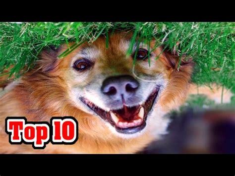 akc ranking a k c videolike