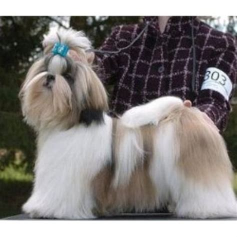 pa shih tzu rescue ephrata pa shih tzu breeders in manitoba freedoglistings breeds picture