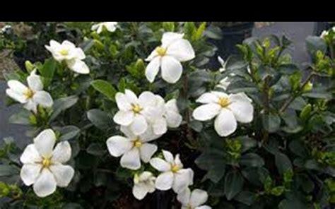 Gardenia Kleim S Hardy Pruning Kleim S Hardy Gardenia 3 Gallon Shrub Gardenia Shrubs