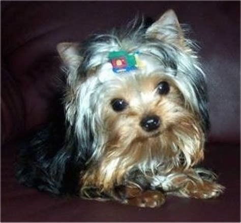 7 month yorkie terrier breed pictures yorkie page 3