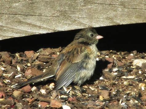 backyard birds pacific northwest specs price release