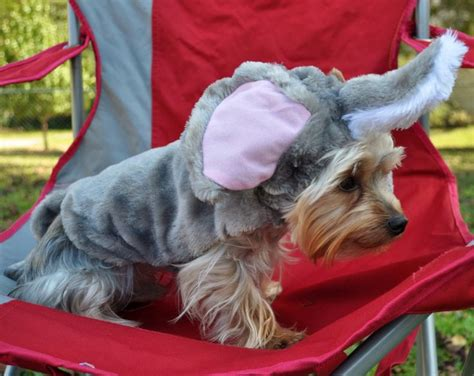 yorkie bee sting 7 best images about rodeo my yorkie clothes on