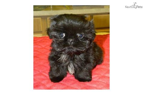 teacup shih poo puppies for sale shih poo shihpoo puppy for sale near las vegas nevada 234ccc6e 5e01