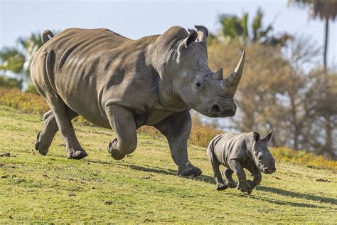 White Zoo southern white rhino born at san diego safari park kpbs