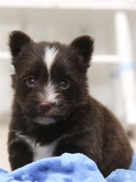 schnorkie puppies teapup small breed puppies