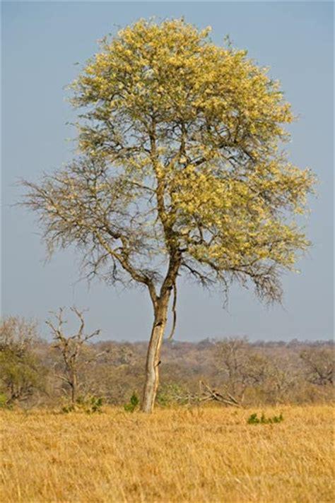 Knob Acacia by Facts Sabi Sabi Reserve Knob Tree