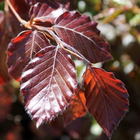 Plants Pests And Diseases - purple beech hedge plants fagus sylvatica purpurea hedging
