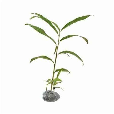 Penjual Bibit Daun Bawang jual tanaman lengkuas merah bibit