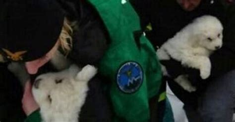 italian avalanche puppies three miracle puppies rescued after spending five days rubble of italian