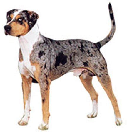 catahoula breed official u s state dogs louisiana flowers for socrates