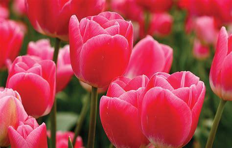 The Hidden Meaning in Tulip Varieties   Tesselaar