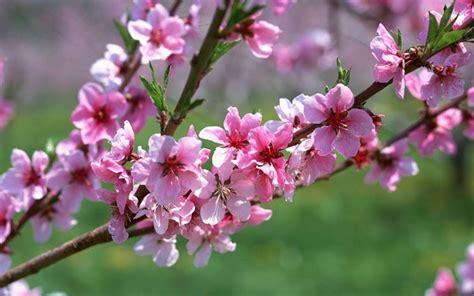fiori pesco fiori pesco fiori delle piante