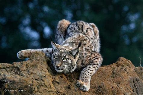 Maianan Animal Kingdom 71 best lynx and bob cat images on big cats